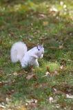 Белая белка, Brevard, NC Стоковое Изображение