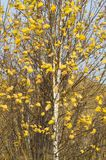 Белая береза с желтыми золотыми листьями стоковое фото