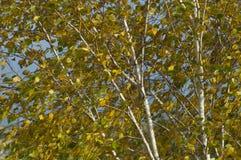 Белая береза с желтыми золотыми листьями стоковые фотографии rf