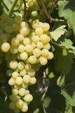 Белая виноградина Стоковое фото RF
