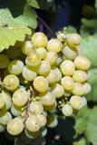 Белая виноградина Стоковые Фотографии RF