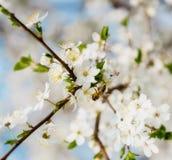 Белая вишня цветет на голубом небе, летании пчелы меда - весне ab Стоковая Фотография RF