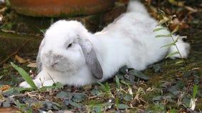 Белая Голландия сокращает кролика лежа вниз в саде видеоматериал