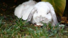 Белая Голландия сокращает кролика лежа вниз в саде акции видеоматериалы