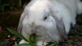 Белая Голландия сокращает кролика лежа вниз в саде сток-видео