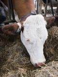 Белая голова коровы подавая от сена в конюшне на голландской ферме в Голландии Стоковое Изображение RF