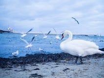 Белая гусыня на пляже, чайках летая в предпосылку Стоковое Фото