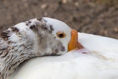 Белая гусыня ослабляя с его головой завила на его назад Стоковые Фотографии RF