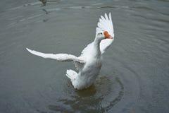 Белая гусыня распространяя крыла Стоковое Фото