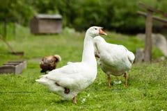 Белая гусыня стоит на одной ноге на зеленой траве Стоковое Изображение