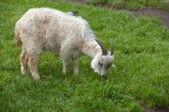 белая домодельная коза Стоковые Фото