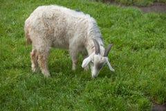 белая домодельная коза Стоковое Фото