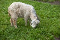 белая домодельная коза Стоковые Изображения RF