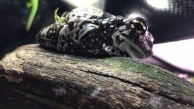 Белая древесная лягушка ` s Также как dumpy лягушка и австралийская зеленая древесная лягушка видеоматериал