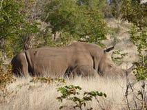 Белая живая природа природы Африки сафари Замбии носорога стоковое изображение