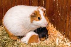 Белая запятнанная морская свинка кормит свое небольшое children_ стоковое изображение