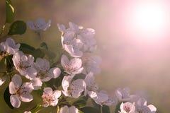 Белая зацветая ветвь яблони, конец-вверх Разнообразия Яблока Quinte стоковая фотография rf