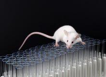 Белая игра мыши лаборатории на трубках стоковое фото