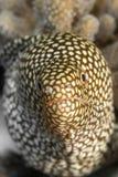Белая изреченная мурена Стоковое Изображение RF