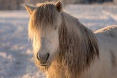 Белая исландская лошадь в замерзая зимнем времени Стоковая Фотография