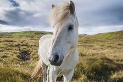 Белая исландская лошадь стоя на злаковике в Исландии Стоковое Изображение RF