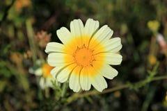 Белая и желтая маргаритка весной стоковые фото