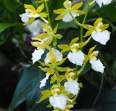 Белая и зеленая орхидея Oncidium в цветени Стоковые Изображения