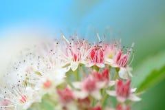 Белая и розовая картина цветков Стоковая Фотография RF
