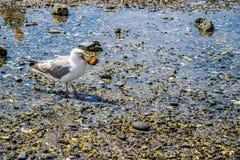 Белая и серая чайка в гавани Адвокатуры, Мейне стоковые фотографии rf