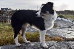 Белая и черная собака освобождает стоковые фото