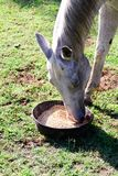 Белая квартальная лошадь есть от шара еды пока стоящ на зеленой траве Стоковые Изображения RF