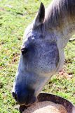 Белая квартальная лошадь есть от шара еды пока стоящ на зеленой траве Стоковые Фото