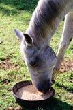 Белая квартальная лошадь есть от шара еды пока стоящ на зеленой траве Стоковое фото RF