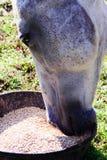 Белая квартальная лошадь есть от шара еды пока стоящ на зеленой траве Стоковое Изображение RF