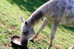 Белая квартальная лошадь есть от шара еды пока стоящ на зеленой траве Стоковое Фото