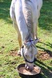 Белая квартальная лошадь есть от шара еды пока стоящ на gr Стоковая Фотография
