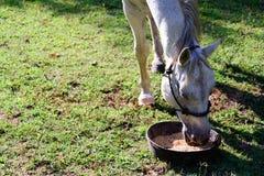 Белая квартальная лошадь есть от шара еды пока стоящ на gr Стоковые Фотографии RF
