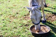 Белая квартальная лошадь есть от шара еды пока стоящ на gr Стоковые Изображения