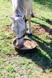 Белая квартальная лошадь есть от шара еды пока стоящ на gr Стоковые Фото
