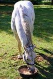 Белая квартальная лошадь есть от шара еды пока стоящ на gr Стоковое Изображение RF