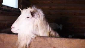 Белая коза в paddock на ферме акции видеоматериалы
