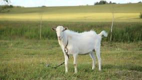 Белая коза пася в поле сток-видео