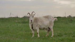 Белая коза связанная к веревочке пасет на зеленой лужайке и взглядах вокруг и в камеры сток-видео