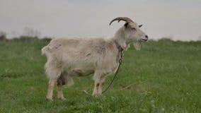 Белая коза связанная к веревочке пасет на зеленой лужайке и взглядах вокруг и в камеры акции видеоматериалы