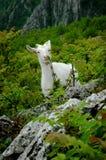 Белая козочка горы Стоковая Фотография RF