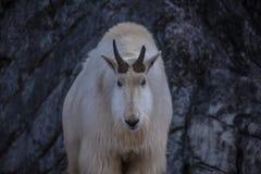 Белая козочка горы Стоковое Изображение RF