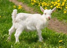 Белая козочка на зеленой траве Стоковые Изображения