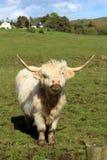 Белая корова гористой местности Стоковая Фотография