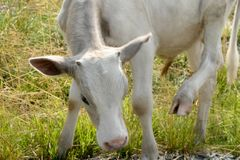 Белая корова на луге Стоковое фото RF