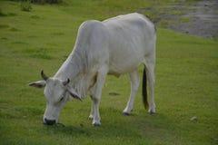 Белая корова на Lapulabao, Hagonoy, Davao del Sur, Филиппинах Стоковое Изображение RF